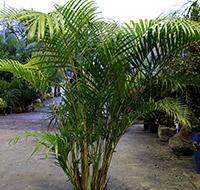 areca-bambu-tb