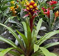 bromelia-conifera-tb
