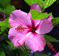 hibisco-3-tb