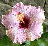 hibisco-tb
