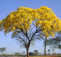 ipe-amarelo-tb