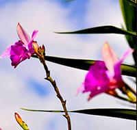 orquidea-bambu-2-tb