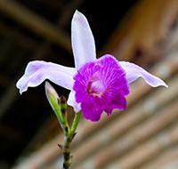orquidea-bambu-tb