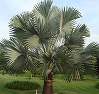 palmeira-azul-tb