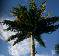 palmeira-imperial-tb