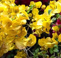 primavera-amarela-tb