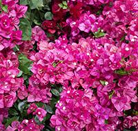 primavera-rosa-tb